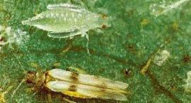 Wciornastki – Thysanoptera