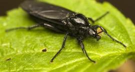 Ziemiórki - Sciaridae