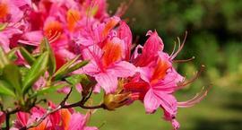 Azalia wielkokwiatowa