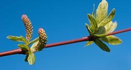 Wierzba japońska (wierzba całolistna, wierzba zwarta)  – Salix integra