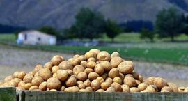 Odmiany ziemniaków