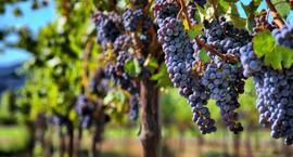 Choroby winorośli – rozpoznawanie, zwalczanie i profilaktyka