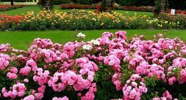 Odmiany róż