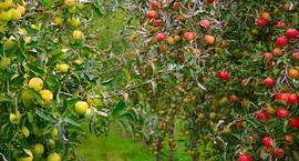 Nawożenie jabłoni