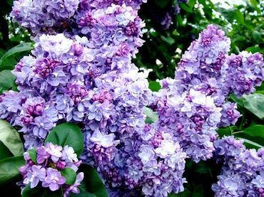 Kwitnące bzy czyli kwiaty lilaków w naszym ogrodzie