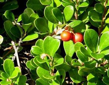 Żurawina wielkoowocowa w ogrodzie – uprawa i pielęgnacja żurawiny