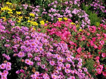 Kwiaty jesienne w ogrodzie