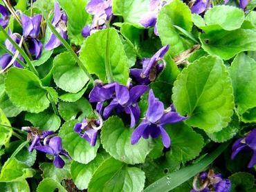 Fiołki ogrodowe. Jak uprawiać te cudowne kwiaty w ogrodzie