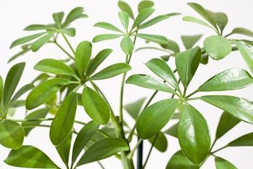 Szeflera drzewkowata (Schefflera arboricola)