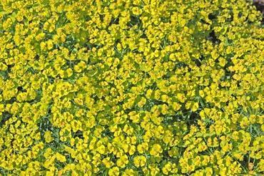 Wilczomlecz sosnka (Euphorbia cyparissias)