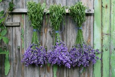 Lawenda - wysiew nasion, rozmnażanie i sadzonki