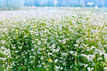 Gryka zwyczajna – najważniejsze fakty o uprawie, siewie i właściwościach