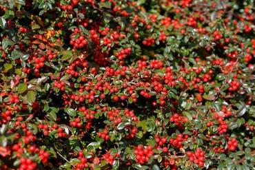 Rośliny zimozielone - zestawienie