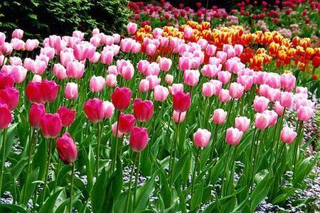 Sadzenie cebulek kwiatowych. Zasady doboru miejsc i gatunków.