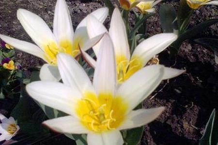 Jak sadzimy cebulki kwiatowe?