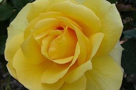 Wymagania i pielęgnacja róż - podstawowe zasady kluczem do sukcesu.