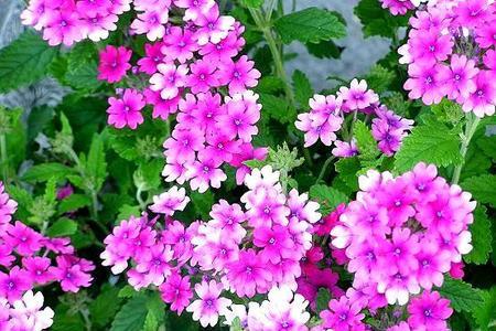 Werbena zwisająca i rabatowa -  łatwy w uprawie kwiat na balkon i taras