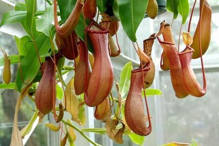Rośliny owadożerne, najlepsza pułapka na owady