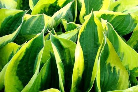 Funkia ogrodowa – uprawa i pielęgnacja funkii