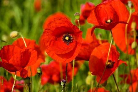 Maki ogrodowe – piękne kwiaty w ogrodzie