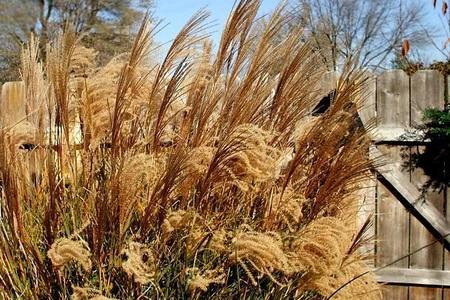 Trawy ozdobne w każdym ogrodzie.