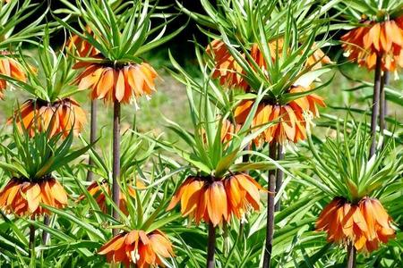 Szachownice - czarujące kwiaty cebulowe