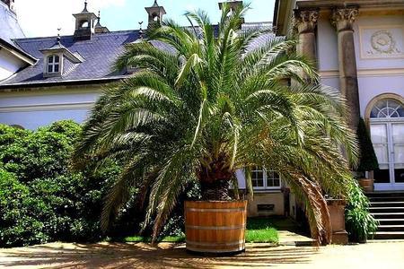 Palmy doniczkowe