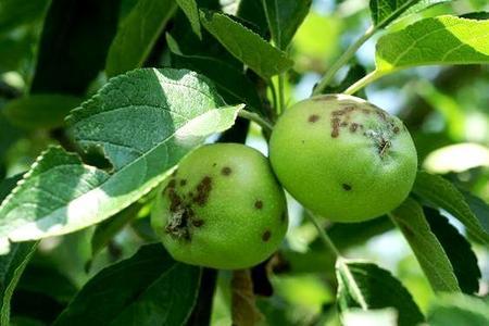 Parch jabłoni i gruszy
