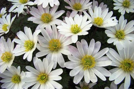 Zawilce ogrodowe - niesamowite kwiaty