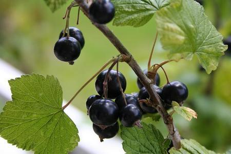Porzeczka czarna – Ribes nigrum