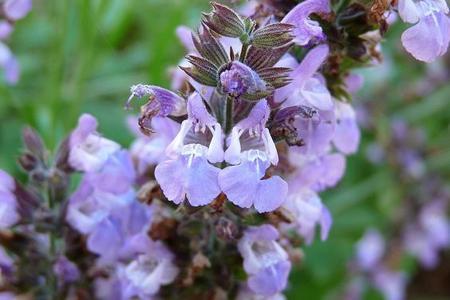 Szałwia lekarska - rośliny lecznicze w ogrodzie