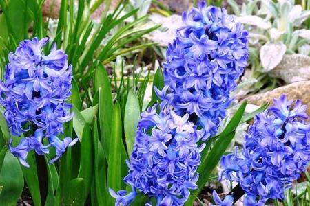 Niebieskie kwiaty – Rośliny o niebieskim kolorze