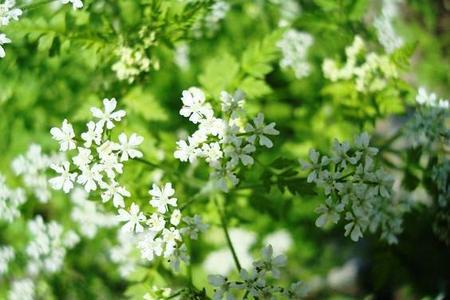 Trybula ogrodowa - rośliny lecznicze w ogrodzie