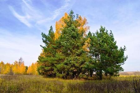 Sosna pospolita (zwyczajna) - Pinus sylvestris