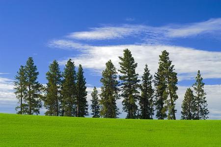 Sosna żółta – Pinus ponderosa