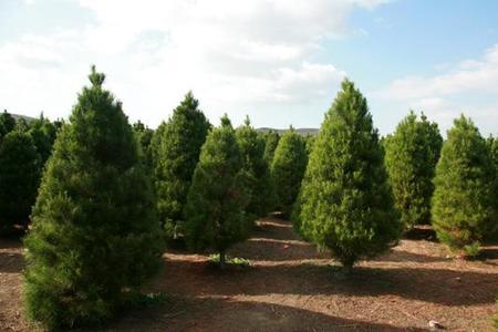 Daglezja zielona  (Jedlica) – Pseudotsuga