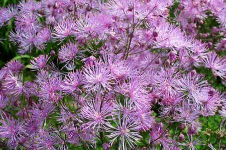 Rutewki – oryginalne byliny do ogrodu