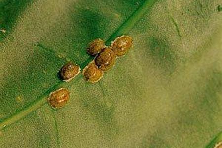 Tarczniki - Diaspididae