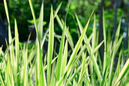 Turzyca - Carex