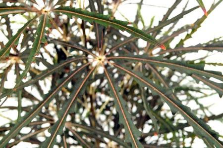 Dizygoteka wytworna (najwytworniejsza) – Dizygotheca elegantissima