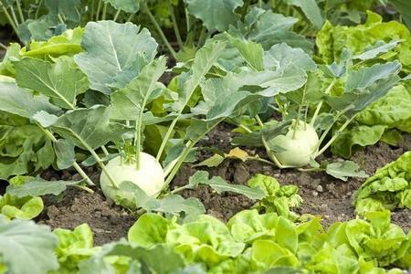 Kalarepa – wartości odżywcze, kalorie i uprawa