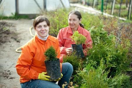 Jak sadzić tuje