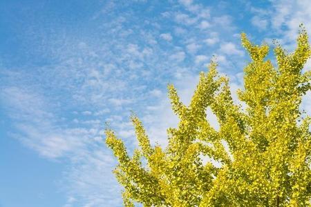 Miłorząb japoński - wygląd, uprawa i właściwości lecznicze