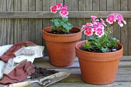 Sadzonki pelargonii – jak je zrobić?