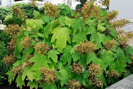 Hortensja dębolistna – uprawa, odmiany i cięcie