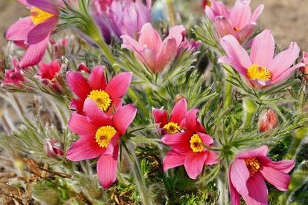 Sasanka – uprawa i najciekawsze odmiany