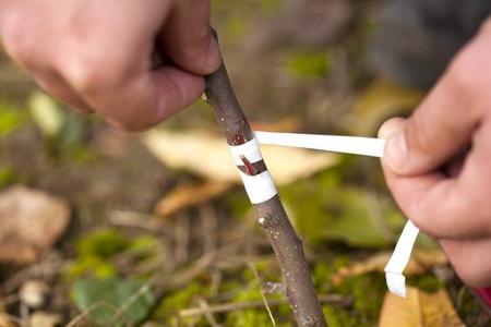 Okulizacja (oczkowanie) – proste rozmnażanie drzew i krzewów