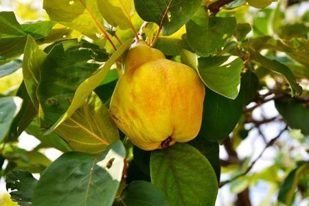 Pigwa pospolita – uprawa i owoce
