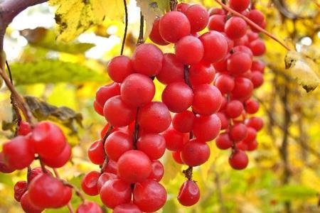 Cytryniec chiński – uprawa, rozmnażanie i sadzonki