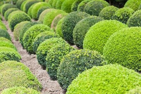 Bukszpan wieczniezielony - uprawa, najciekawsze odmiany i cięcie